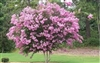 Crape Myrtle Lagerstroemia-- Sioux   Pink Blooms Zone 7