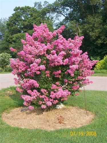 Crape myrtle lagerstroemia sioux pink blooms zone 7 for Nice small trees