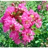 Crape Myrtle Lagerstroemia--William Toovey  Watermelon Red Blooms Zone 6
