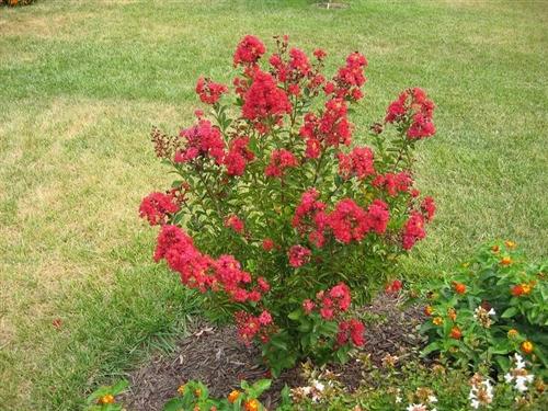Crape Myrtle LagerstroemiaVictor Dark Red Blooms Zone 6