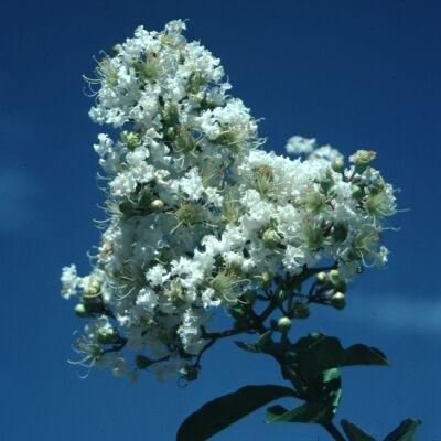 MyrtleLagerstroemia SnowWhite Blooms Zone 6