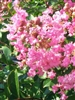 Crape Myrtle-Lagerstroemia Pink Ruffles-Crinkly Pink Blooms Zone 6