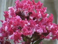 CRAPE MYRTLES--DISCOUNT COMBO PACKS OF CRAPE MYRTLES--THIS OFFERING IS FOR-15 CRAPE MYRTLES