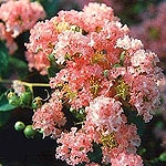 CRAPE MYRTLE-DISCOUNT COMBO PACKS OF CRAPE MYRTLES--THIS OFFERING IS FOR THE COMBINATION OF 30 CRAPE MYRTLES