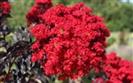 CRAPE MYRTLE EBONY FLAME-LAGERSTROEMIA Clusters of Fiery Dark Red Blooms with Yellow Center and Black Foliage Zone: 7