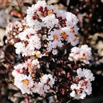 CRAPE MYRTLE EBONY GLOW-LAGERSTROEMIA Clusters of Blush Pink Nearly White Blooms with Black Foliage Zone: 7