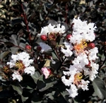 CRAPE MYRTLE EBONY AND IVORY WHITE-LAGERSTROEMIA Clusters of  Striking White Blooms with Black Foliage Zone: 7