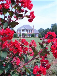 CRAPE MYRTLE ARAPAHO-Lagerstroemia RED BLOOMS Zone 7