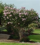 CRAPE MYRTLE BASHAM'S PARTY PINK-Lagerstroemia  Light Lavender Blooms Zone 7