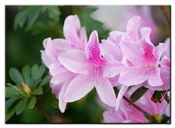 AZALEA RHODODENDRON GEORGE TABOR-LAVENDER Blooms Zone 7