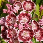 Out of stock  MOUNTAIN LAUREL-KALMIA latifolia 'Bullseye' Evergreen Blooms White inside a Purple Boarder Zone 4