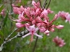 AZALEA NATIVE RHODODENDRON nudiflorum-PERICLYMENOIDES-PINK Fragrant Blooms Zone 4