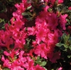 AZALEA RHODODENDRON HINO-CRIMSON-DARK RED CRIMSON Blooms Zone 5