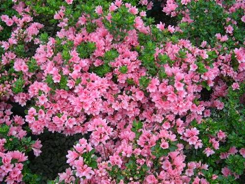 /'Coral Bells/' Azalea Rhododendron Pint Plant