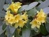 NATIVE AZALEA 'RHODODENDRON ALABAMANSE' White with Blade of Lt. Yellow SUMMER BLOOMS or SOMMERVILLE BRIGHT YELLOW Zone 5