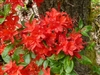 NATIVE  AZALEA 'RHODODENDRON CUMBERLANDENSE BLOOMS ORANGE TO SALMON LATE SUMMER Zone 5