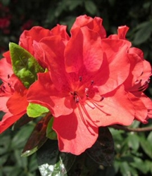 AZALEA RHODODENDRON VIVID RED-CHERRY RED RUFFLED CLUSTER Blooms Zone 8