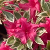 AZALEA RHODODENDRON BOLLYWOOD-BRIGHT NEON RED BLOOMS VARIEGATED FOLIAGE Blooms Zone 5