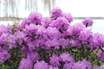 Out of stock  RHODODENDRON AMY COTTA-LAVENDER PINK CLUSTER Blooms Zone 4