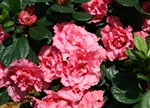 AZALEA RHODODENDRON BLOOM-A-THON DOUBLE PINK- LARGE RUFFLED DOUBLE PINK REBLOOMER Zone 6