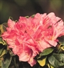 AZALEA RHODODENDRON HAMPTON'S BEAUTY-MEDIUM PINK WITH WHITE WASHES OF SALMON BLOOMS Zone 7