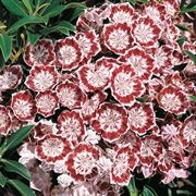 MOUNTAIN LAUREL-KALMIA latifolia 'Minuet'  Evergreen Blooms White inside a Purple Boarder Zone 4