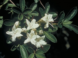 NATIVE SWAMP AZALEA 'RHODODENDRON VISCOSUM' FRAGRANT* SUMMER WHITEBLOOMS