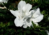 AZALEA RHODODENDRON BLOOM-A-THON WHITE LARGE RUFFLED WHITE REBLOOMER Zone 6