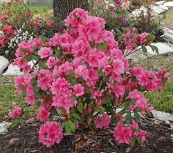 AZALEA RHODODENDRON PINK RUFFLES-LARGE CLUSTERS OF FRILLED DOUBLE PINK BLOOMS Zone 8