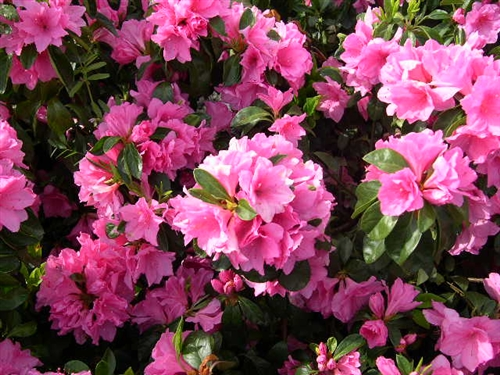 Azalea Rhododendron Pink Ruffles Large Clusters Of Frilled