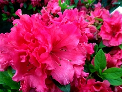 AZALEA RHODODENDRON RED RUFFLES-LARGE CLUSTERS OF FRILLED DOUBLE RED BLOOMS Zone 8