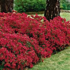 AZALEA RHODODENDRON INDICA-RED FORMOSA-RED BLOOMS Zone 8