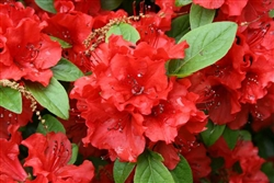 AZALEA RHODODENDRON GIRARD'S HOT SHOT-CLUSTERS OF REDDISH ORANGE WITH DARK RED SPOTTING BLOOMS Zone 5
