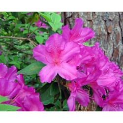 AZALEA  PURPLE FORMOSA RHODODENDRON INDICA-LARGE RICH LAVENDER PURPLE BLOOMS Zone 8