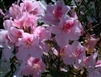 AZALEA RHODODENDRON INDICA-DUCHESS OF CYPRESS-CLUSTERS OF LARGE PINK WITH SALMON FRECKLES BLOOMS Zone 8