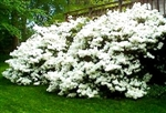 AZALEA RHODODENDRON DELAWARE VALLEY WHITE-CLUSTERS OF LARGE WHITE BLOOMS  ZONE 5