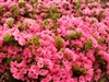 AZALEA RHODODENDRON SOUTHERN INDICA DAPHNE SALMON-CLUSTERS OF LARGE SALMON PINK BLOOMS WITH ORANGE FRECKLES ZONE 8