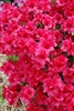 AZALEA RHODODENDRON KURUME HERSHEYS RED-CLUSTERS OF SLIGHTLY FRAGRANT BRIGHT RED BLOOMS ZONE 6