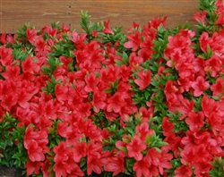 AZALEA RHODODENDRON FLAME CREEPER-SLIGHTLY RUFFLED BRIGHT CHERRY RED TO ORANGE RED BLOOMS Zone 7