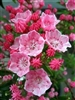 Mountain Laurel-KALMIA latifolia 'Tiddlywinks' Evergreen Blooms Pink buds and opens to Pink blooms with some White Zone 5