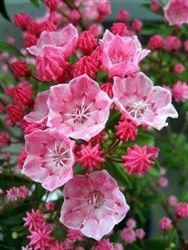 Our of stock  Mountain Laurel-KALMIA latifolia 'Tiddlywinks' Evergreen Blooms Pink buds and opens to Pink blooms with some White Zone 5