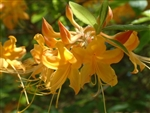 NATIVE AZALEA 'RHODODENDRON AUSTRINUM' FRAGRANT SPRING YELLOW BLOOMS