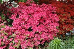 AZALEA RHODODENDRON GIRARD'S ROSE CLUSTERS OF ROSE COLOR WITH DEEP RED THROAT SLIGHTLY SCENTED Zone 4b