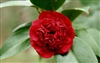 Camellia Professor Sargent Camellia Japonica' Brilliant Red Double Blooms  Zone 7a