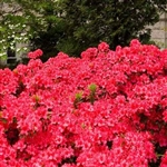 AZALEA RHODODENDRON AZALEA RHODODENDRON GIRARD'S CRIMSON CLUSTERS OF BRIGHT RED COLOR Zone 5