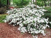 AZALEA RHODODENDRON AZALEA RHODODENDRON GIRARD'S PLEASANT WHITE-SINGLE LARGE WHITE BLOOMS Zone 5
