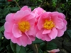 AUTUMN PINK ICICLE CAMELLIA-Japonica  Zone 6