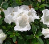AZALEA RHODODENDRON SATSUKI-GUMPO WHITE-CLUSTERS OF  LARGE WHITE BLOOMS Zone 7