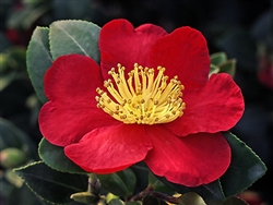Camellia sasanqua 'Yuletide'-Single Brilliant Fiery Red with Center Yellow Stamens Zone 7