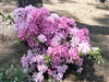 AZALEA RHODODENDRON NORTH LAKE BEAUTY-Blooms Pink to White Zone 6